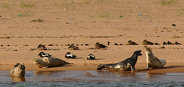 seals-at-newburgh-beach